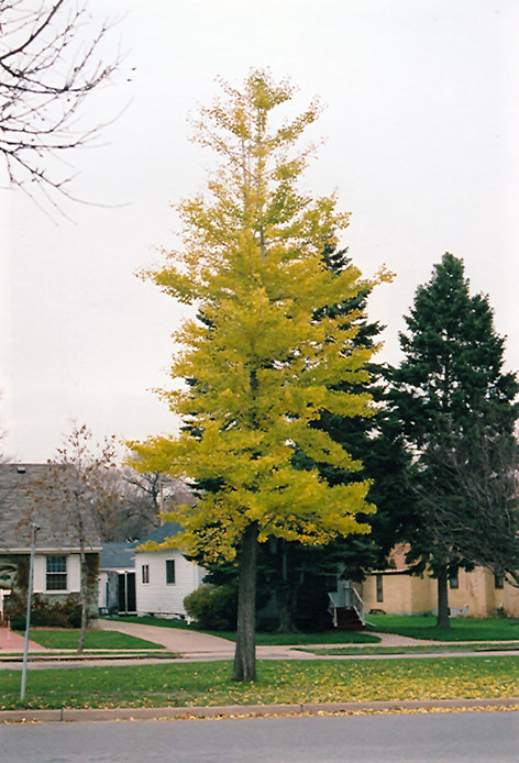 Princeton Sentry Ginkgo (Ginkgo biloba 'Princeton Sentry') at North Branch Nursery