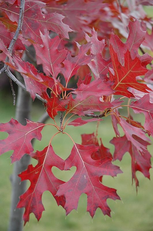 Northern Pin Oak Quercus Ellipsoidalis In Toledo