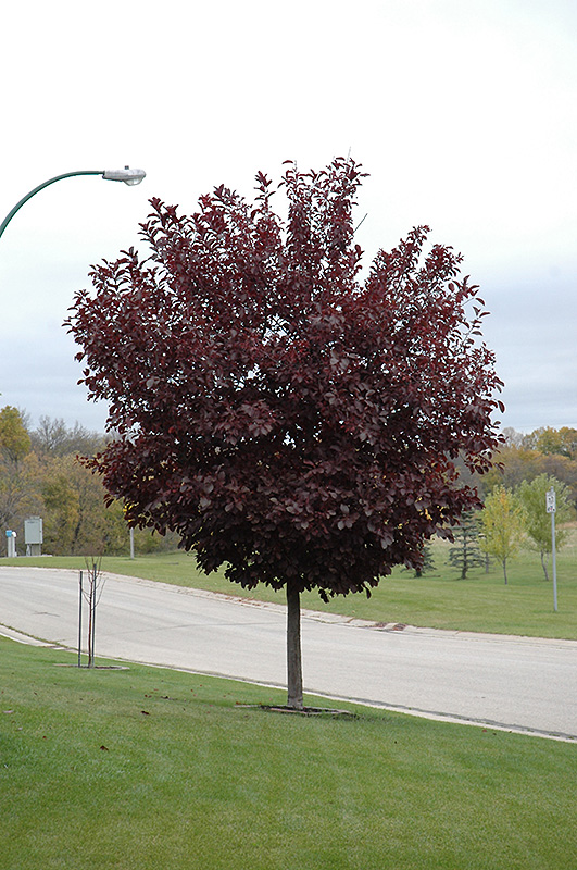 Canada Red Select Chokecherry (Prunus virginiana 'Canada Red Select') at North Branch Nursery