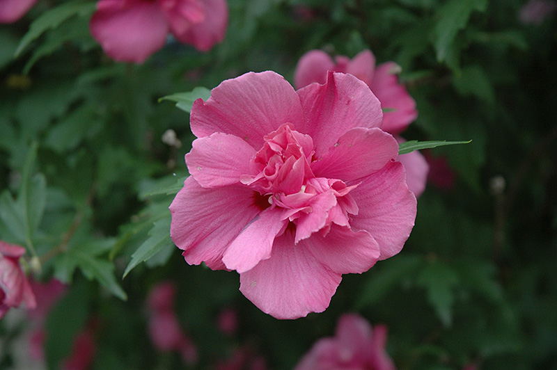 Lucy Rose Of Sharon Hibiscus Syriacus Lucy In Toledo Pemberville