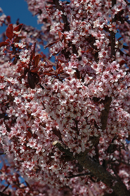 Thundercloud Plum (Prunus cerasifera 'Thundercloud') at North Branch Nursery