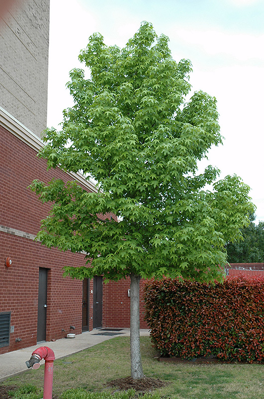 Happidaze Sweet Gum (Liquidambar styraciflua 'Hapdell') at North Branch Nursery