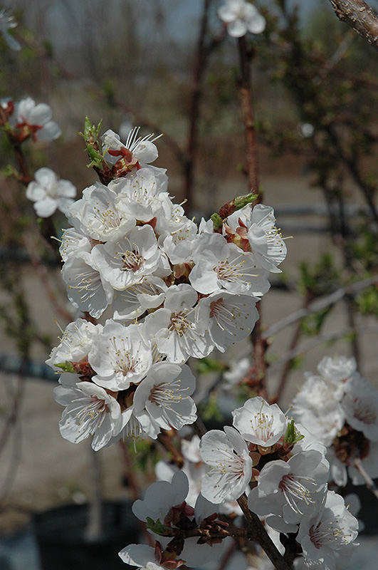 Sungold Apricot (Prunus 'Sungold') at North Branch Nursery