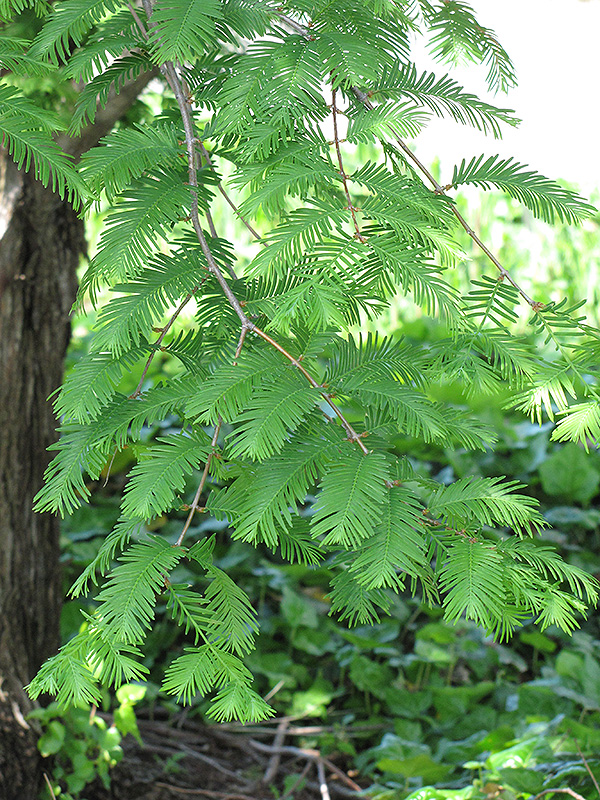 Dawn Redwood (Metasequoia glyptostroboides) at North Branch Nursery