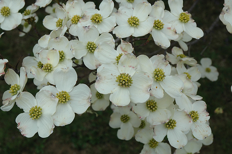 Cloud 9 Flowering Dogwood (Cornus florida 'Cloud 9') at North Branch Nursery