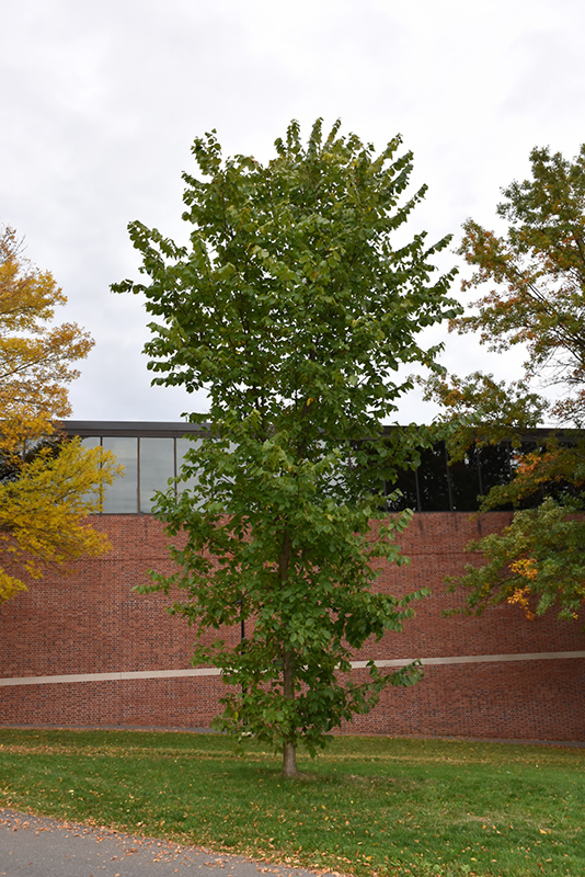 New Harmony Elm (Ulmus americana 'New Harmony') at North Branch Nursery