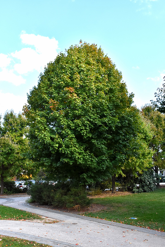 Legacy Sugar Maple (Acer saccharum 'Legacy') at North Branch Nursery