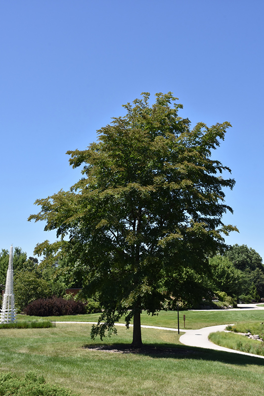 Accolade Elm (Ulmus 'Morton') at North Branch Nursery