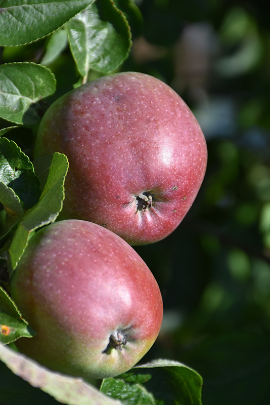 Spartan Apple (Malus 'Spartan') at North Branch Nursery