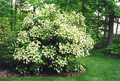 Arrowwood (Viburnum dentatum) at North Branch Nursery