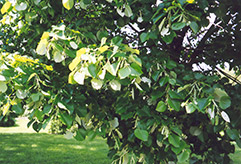 Silver Linden (Tilia tomentosa) at North Branch Nursery