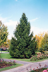 Norway Spruce (Picea abies) at North Branch Nursery