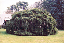Weeping Hemlock (Tsuga canadensis 'Pendula') at North Branch Nursery