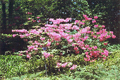 Northern Lights Deciduous Azalea (Rhododendron 'Northern Lights') at North Branch Nursery