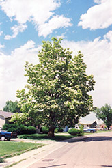 Northern Catalpa (Catalpa speciosa) at North Branch Nursery
