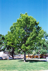 Red Oak (Quercus rubra) at North Branch Nursery