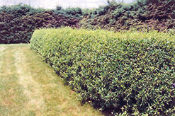 Cheyenne Common Privet (Ligustrum vulgare 'Cheyenne') at North Branch Nursery