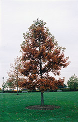 Swamp White Oak (Quercus bicolor) at North Branch Nursery