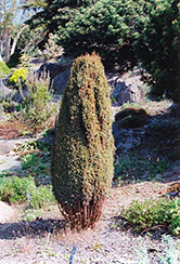 Compressa Juniper (Juniperus communis 'Compressa') at North Branch Nursery