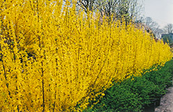 Lynwood Gold Forsythia (Forsythia x intermedia 'Lynwood Gold') at North Branch Nursery