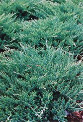 Sargent Juniper (Juniperus chinensis 'var. sargentii') at North Branch Nursery