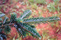 Fraser Fir (Abies fraseri) at North Branch Nursery
