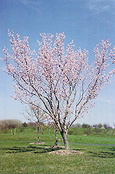 Moongold Apricot (Prunus 'Moongold') at North Branch Nursery