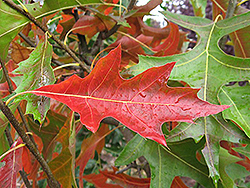 Pacific Brilliance Pin Oak (Quercus palustris 'PWJR08') at North Branch Nursery