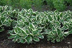 Minuteman Hosta (Hosta 'Minuteman') at North Branch Nursery