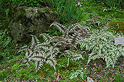 Japanese Painted Fern (Athyrium nipponicum 'Pictum') at North Branch Nursery