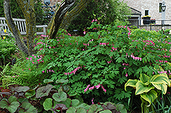 Old Fashioned Bleeding Heart (Dicentra spectabilis) at North Branch Nursery