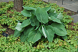 Blue Angel Hosta (Hosta 'Blue Angel') at North Branch Nursery