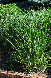 Switch Grass (Panicum virgatum) at North Branch Nursery