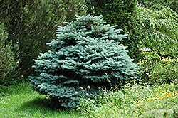 Globe Blue Spruce (Picea pungens 'Globosa') at North Branch Nursery