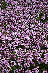 Red Creeping Thyme (Thymus praecox 'Coccineus') at North Branch Nursery