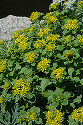 Russian Stonecrop (Sedum kamtschaticum) at North Branch Nursery