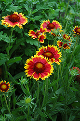 Goblin Blanket Flower (Gaillardia x grandiflora 'Goblin') at North Branch Nursery