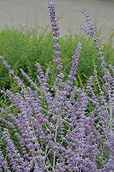 Russian Sage (Perovskia atriplicifolia) at North Branch Nursery