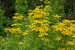 Isla Gold Tansy (Tanacetum vulgare 'Isla Gold') at North Branch Nursery