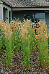 Karl Foerster Reed Grass (Calamagrostis x acutiflora 'Karl Foerster') at North Branch Nursery