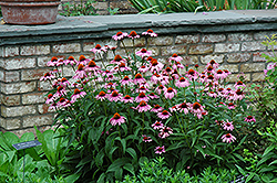 Magnus Coneflower (Echinacea purpurea 'Magnus') at North Branch Nursery