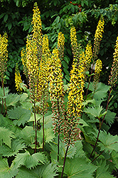 The Rocket Rayflower (Ligularia 'The Rocket') at North Branch Nursery
