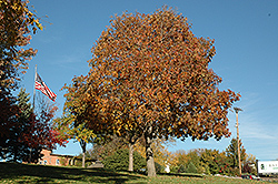 Autumn Splendor Buckeye (Aesculus 'Autumn Splendor') at North Branch Nursery