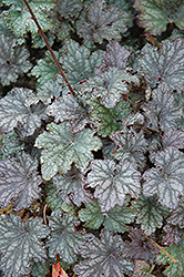 Frosted Violet Coral Bells (Heuchera 'Frosted Violet') at North Branch Nursery