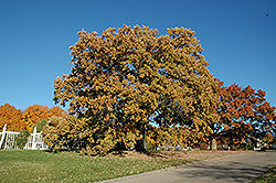 Bur Oak (Quercus macrocarpa) at North Branch Nursery