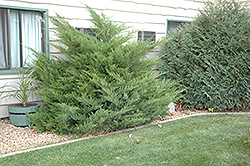 Mint Julep Juniper (Juniperus chinensis 'Mint Julep') at North Branch Nursery