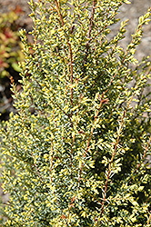 Gold Cone Juniper (Juniperus communis 'Gold Cone') at North Branch Nursery