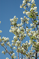 Allegheny Serviceberry (Amelanchier laevis) at North Branch Nursery