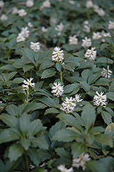 Japanese Spurge (Pachysandra terminalis) at North Branch Nursery