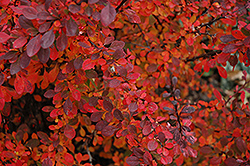 Rose Glow Japanese Barberry (Berberis thunbergii 'Rose Glow') at North Branch Nursery